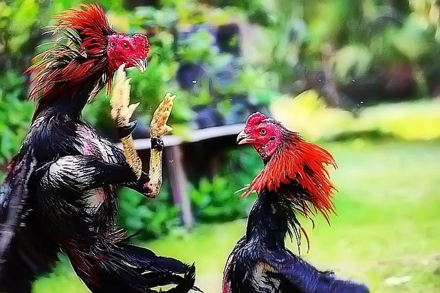 Ayam - AUSTRALIA