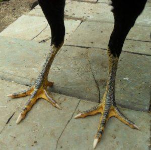 kaki ayam betina rapat dan kering MB-005