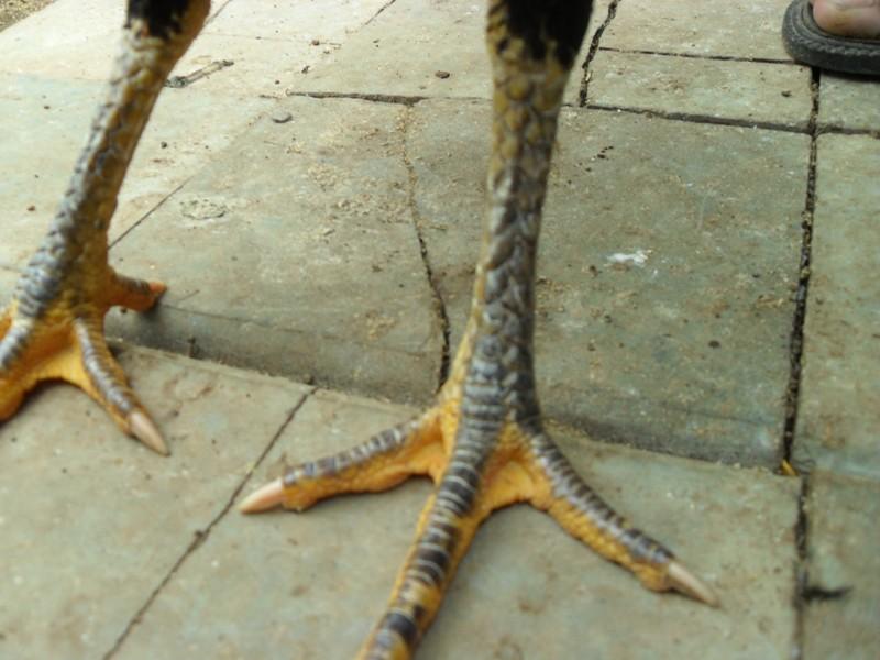 Jual Ayam Bangkok Betina Istimewa Ayam Hias Gresik