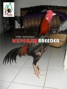MB-009 Menoreh breeder