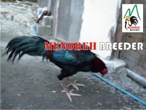 ayam bangkok pukulan keras