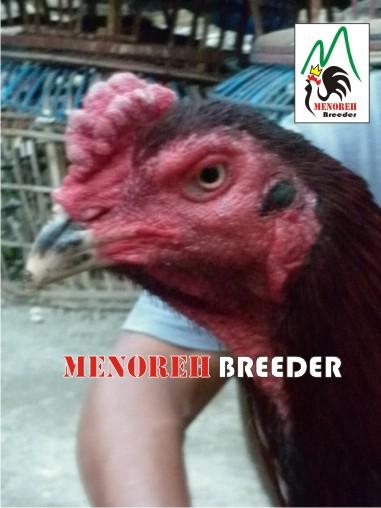 MB-012 (terjual) | MENOREH BREEDER (Peternakan Ayam Aduan/ Sabung)