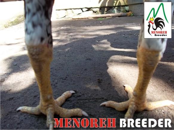 bentuk kaki belakang ayam blorok1