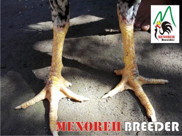 blorok madu | MENOREH BREEDER (Peternakan Ayam Aduan/ Sabung)