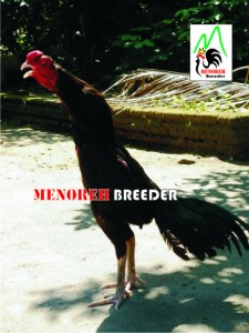ayam bangkok dijual