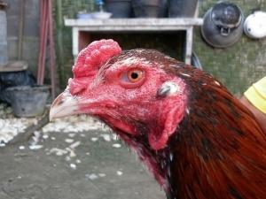 kepala ayam aduan teknik ngalung