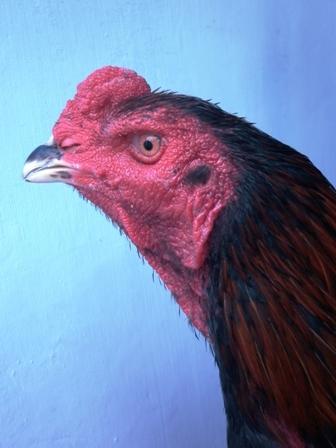 Oktober | 2011 | MENOREH BREEDER (Peternakan Ayam Aduan/ Sabung)