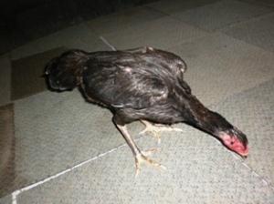 ayam betina dijual