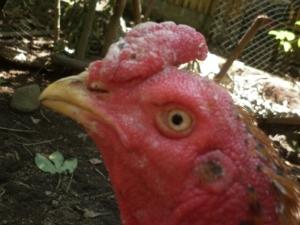 korep pada ayam