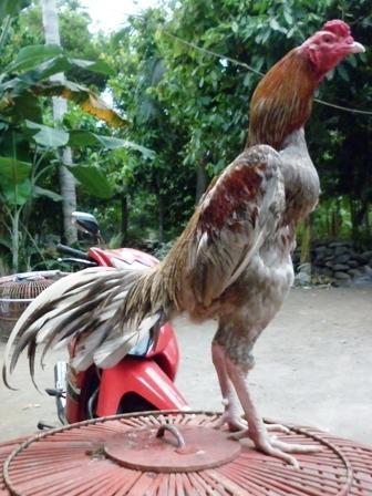 ayam jantan dengan postur yang kekar dan gagah menandakan ayam yang