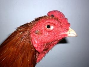 cara menggemukan ayam bangkok muda
