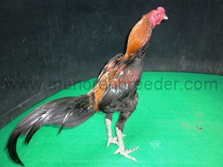 gallery ayam | MENOREH BREEDER (Peternakan Ayam Aduan/ Sabung)