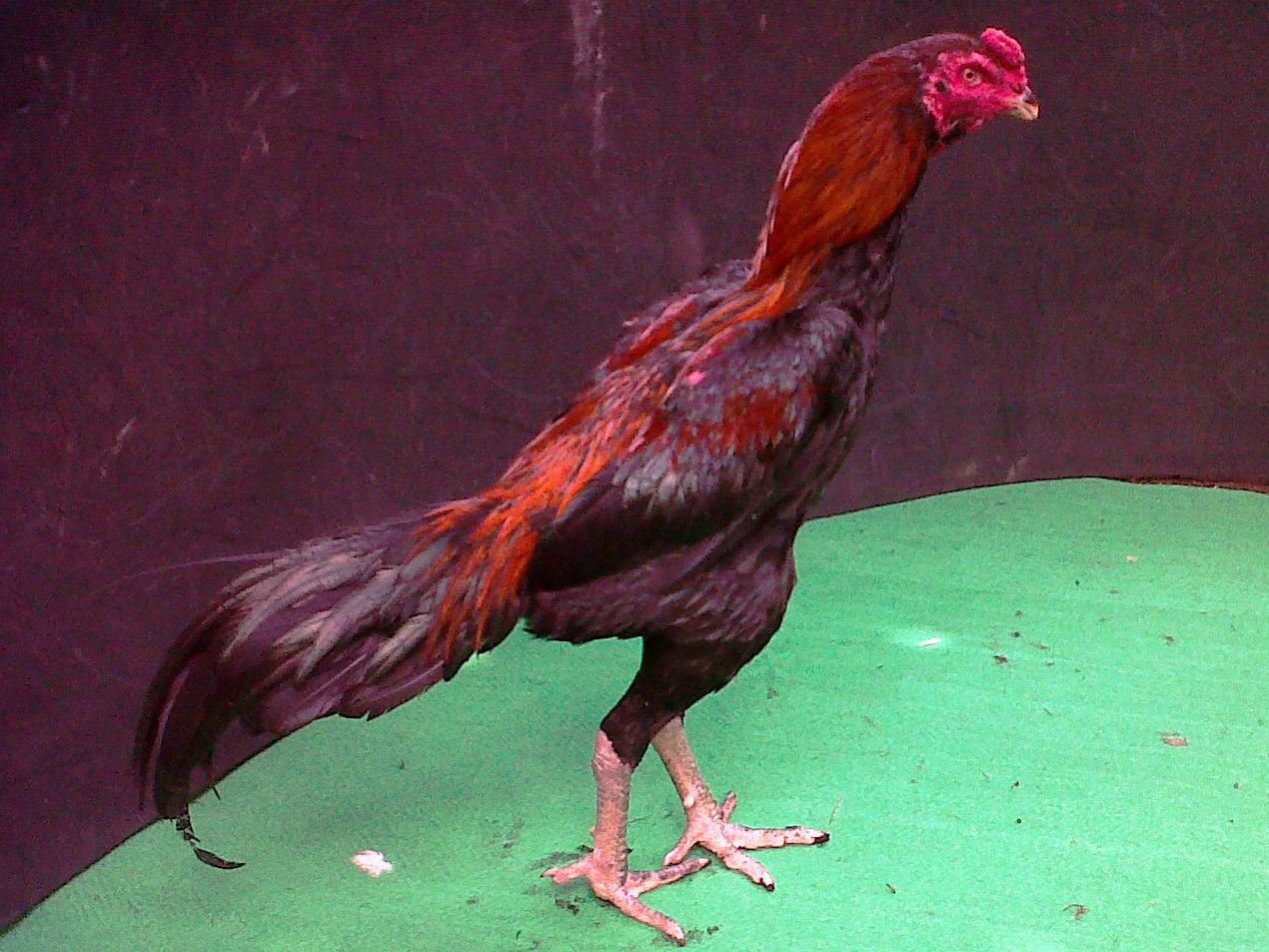 foto ayam juara | MENOREH BREEDER (Peternakan Ayam Aduan/ Sabung)