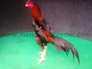 ayam champion(1)