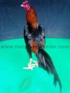 ayam tangguh(1)