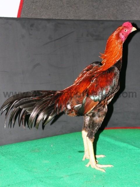 badan ayam yang kokoh dan kekar
