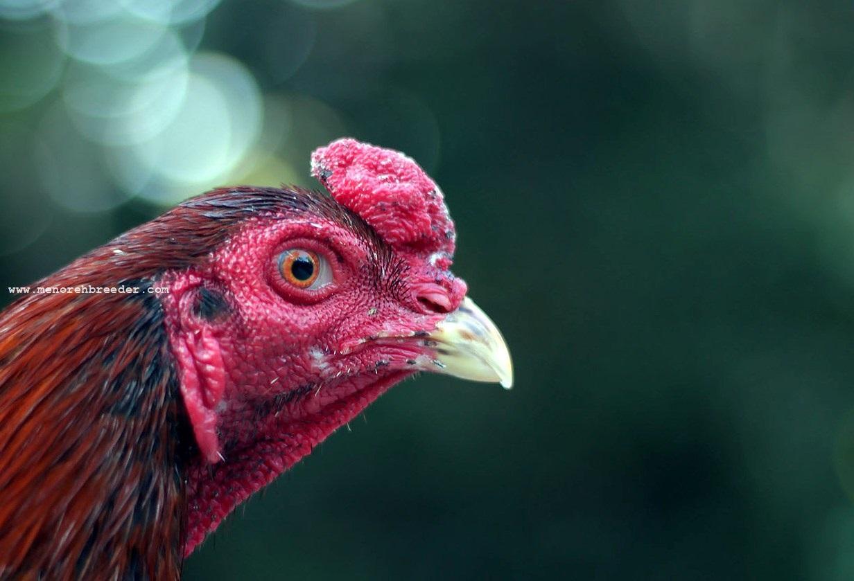 pakan untuk ayam bangkok aduan tips cara 1 pakan ayam bangkok ayam
