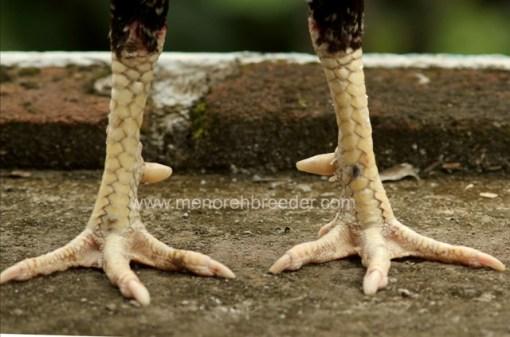 kaki ayam aduan.