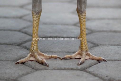 ciri ciri fisik kaki ayam birma