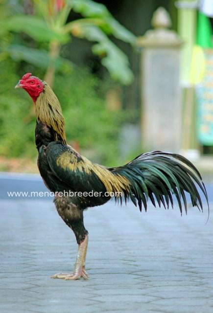 85 Gambar Ayam Wido Cempaka Terlihat Keren