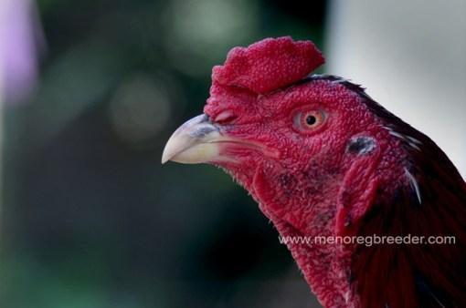 kepala pinang ayam bangkok