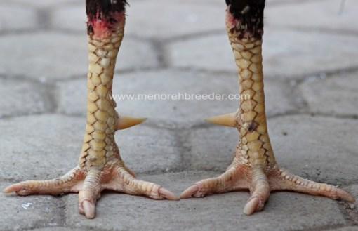 ciri ciri sisik kaki ayam bangkok
