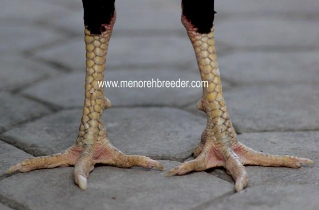 Menoreh breeder (peternakan ayam aduan/ sabung)