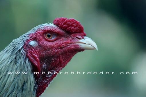 kepala ayam bangkok menorehbreeder