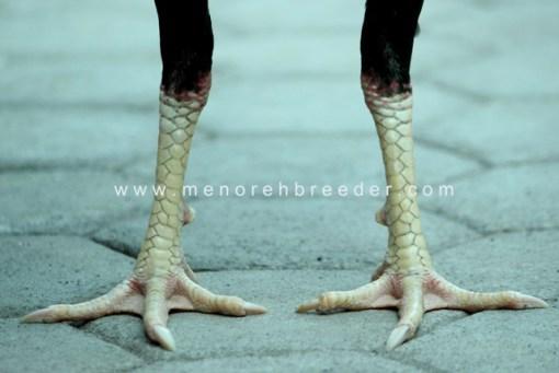 kaki ayam bangkok ciri ciri sisik ayam bangkok aduan bulat rotan