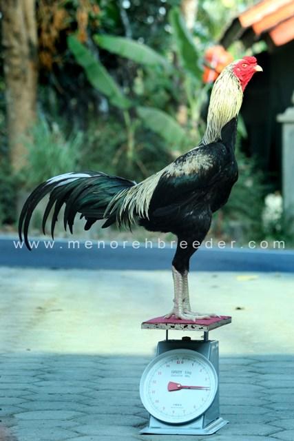 ukuran ayam bangkok birma saigon berdasarkan berat timbangan