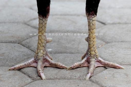 kaki ayam bangkok menorehbreeder