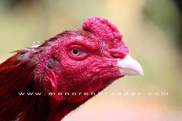 Jual Ayam Bangkok F1 Terbaru Dgn Harga Ayam F1 | GudangBerita.info