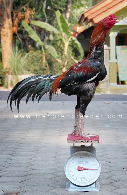ukuran timbangan ayam bangkok saigon birma assel shamo vietnam mathai
