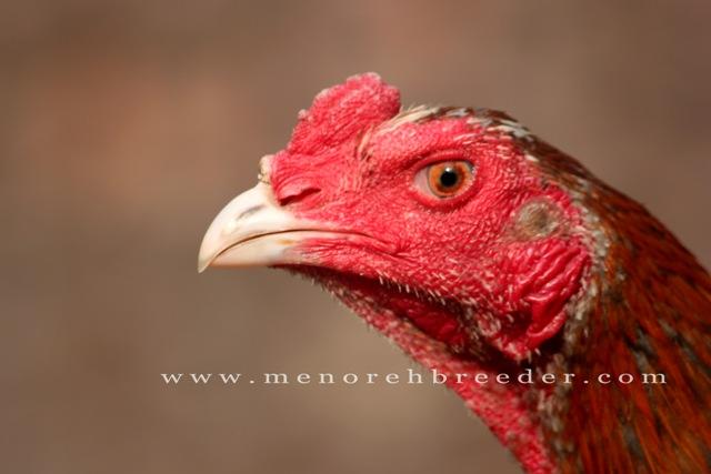 foto kepala ayam bangkok