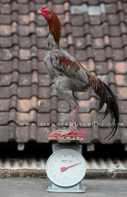 ayam pakhoy foto gambar berat ukuran timbangan menoreh breeder