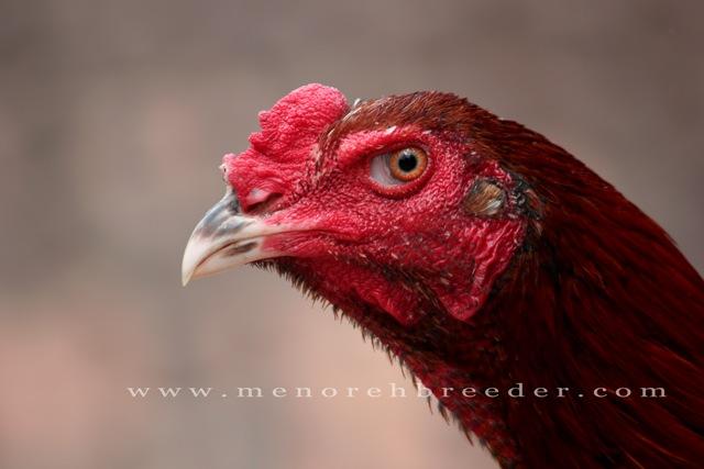 foto kepala ayam bangkok ciri ciri ayam juara