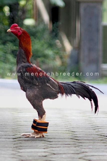 barbel ayam aduan