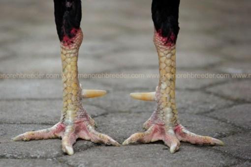 kaki ayam jalu