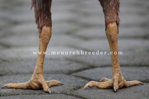 sisik kaki ayam bangkok
