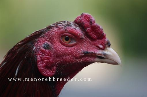 foto kepala ayam bangkok ciri ciri kepala ayam aduan super istimewa tangguh