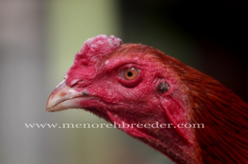 kepala ayam bangkok saigon birma pakhoy assel shamo magon mathai import
