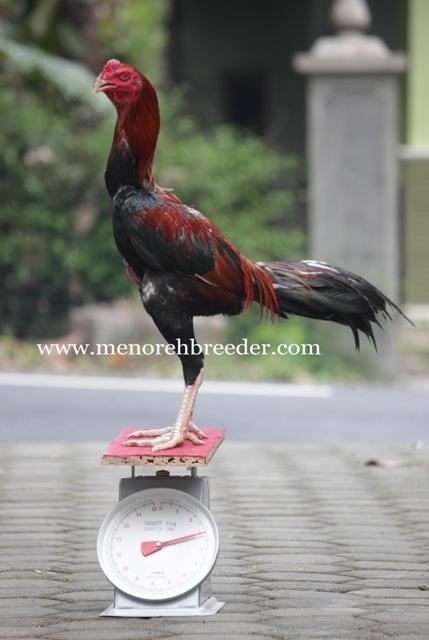 ukuran ayam bangkok saigon birma pakhoy assel shamo magon mathai import