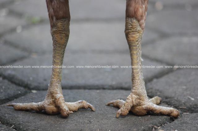 kaki ayam birma betina