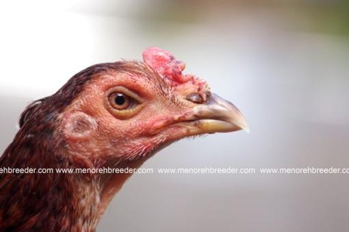 kepala ayam birma
