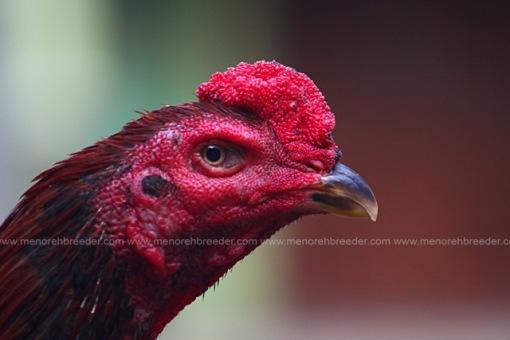 ayam koshamo