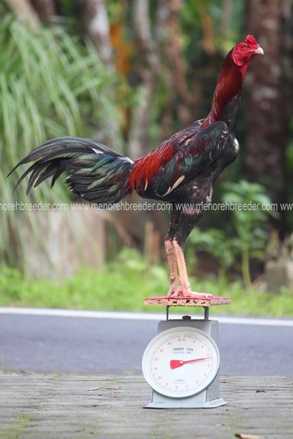 berat ukuran ayam jago