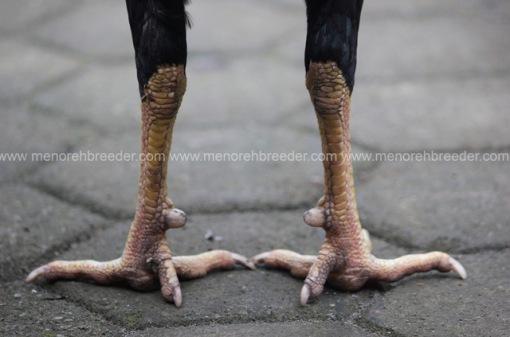 jalu kaki ayam
