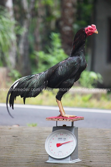 ukuran ayam aduan