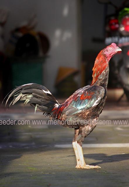 ayam bangkok import