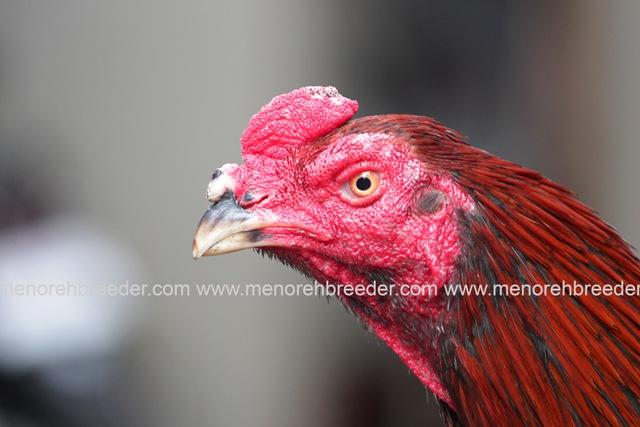 kepala ayam bangkok super